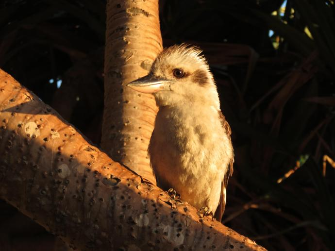 The golden light highlights this kookaburra as he watches the activity
