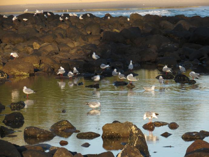 The seagulls paddle around in the rock pools