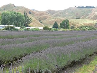 Can you smell this lavender?