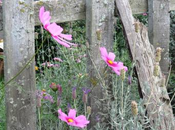 Cosmos nestles up against the rustic wooden fences