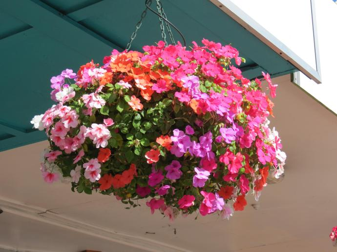 Hanging baskets filled with Impatients (busy lizzies)