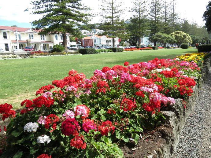 Napier foreshore, beautiful display of geraniums