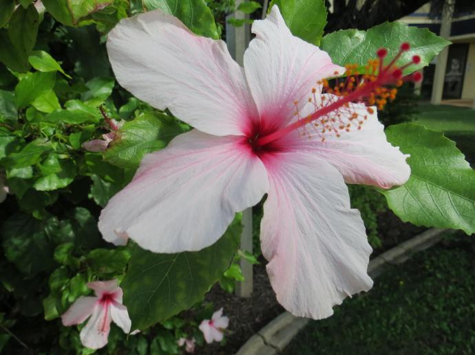 It was quite difficult to capture this hibiscus in the windy conditions