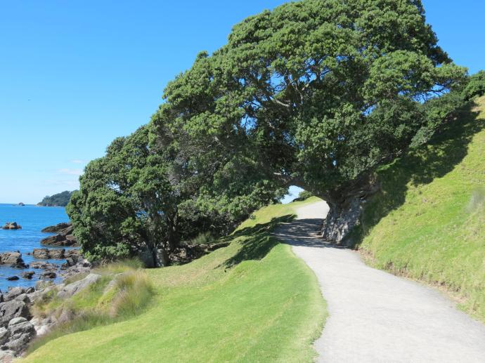 This is a Pohutakawa tree