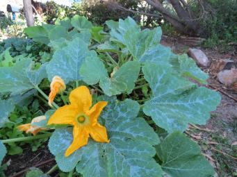 Zucchini are flowering