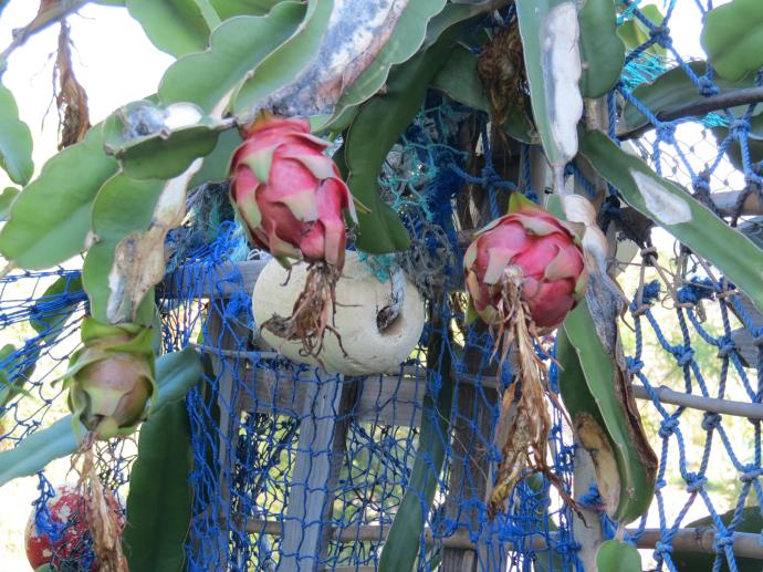 A couple of dragon fruit have just ripened in time for Naomi to enjoy them