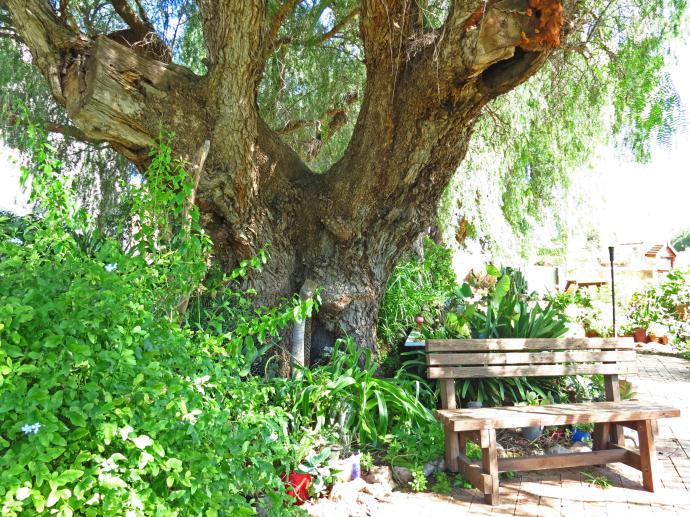 Another seat under another pepper tree.