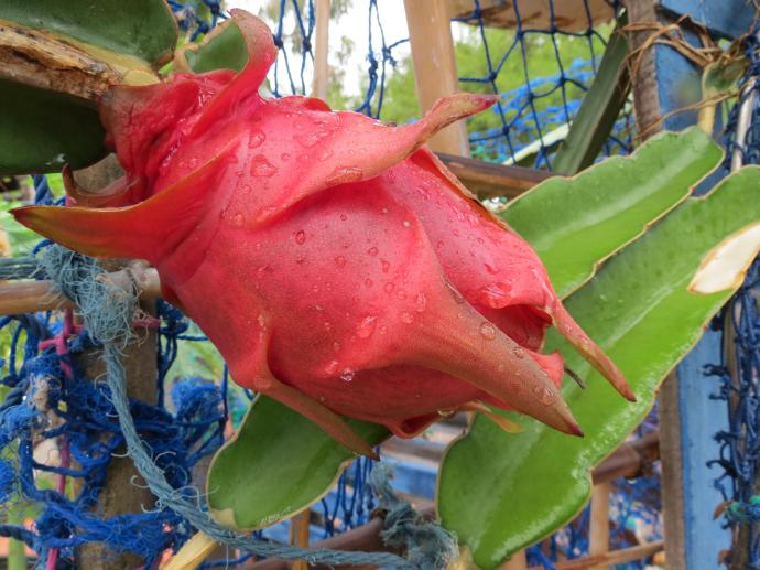 Dragon fruit, ripe and ready to harvest.