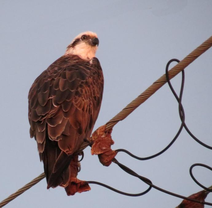 This young osprey keeps an eye on what is happening