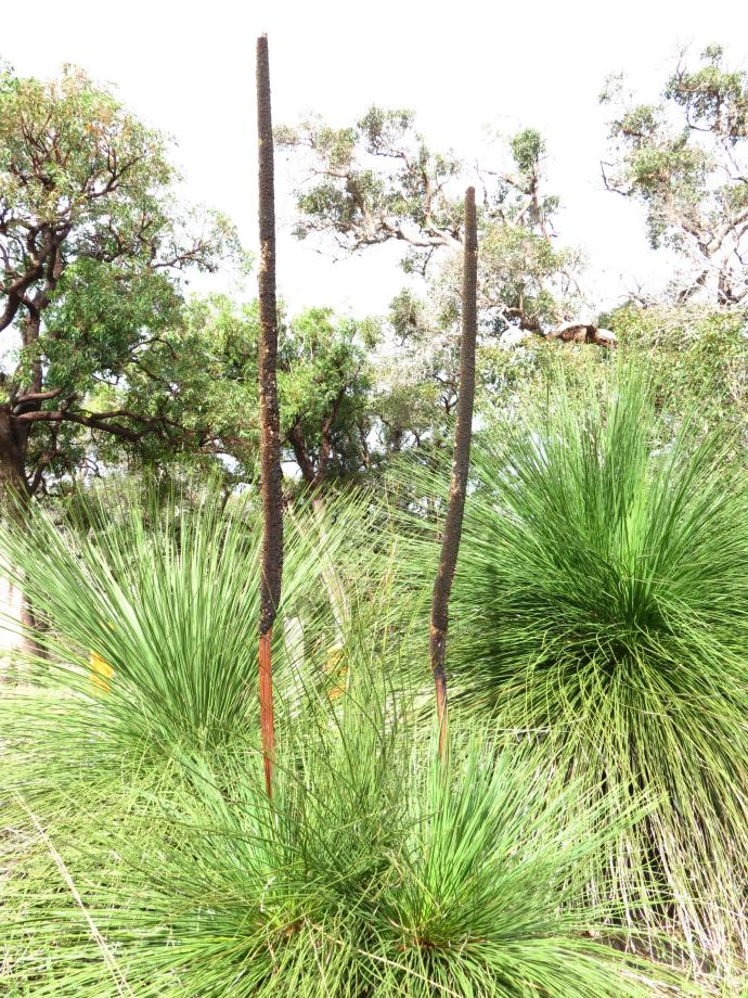 The grass tree