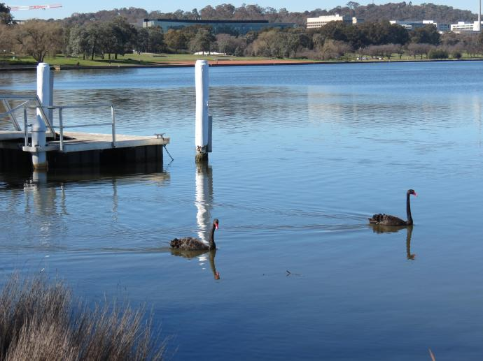 Black swans sail majestically by