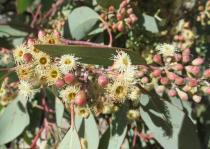 Gum tree starting to flower