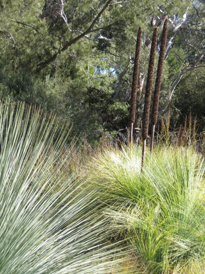 Xanthorrhoea plant