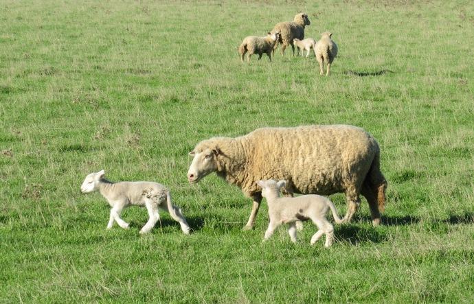 Greenough 032 sheep cropped