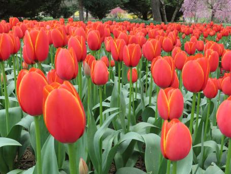 The tulips are the heroes