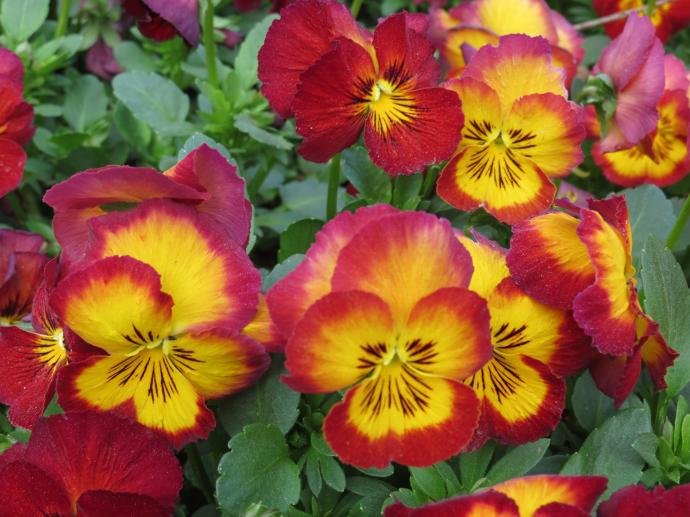 Every where the cheerful faces of the pansies smile up at me