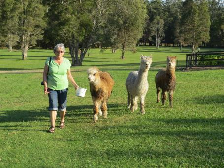 "The ""boys"" 3 very aloof and haughty alpacas"