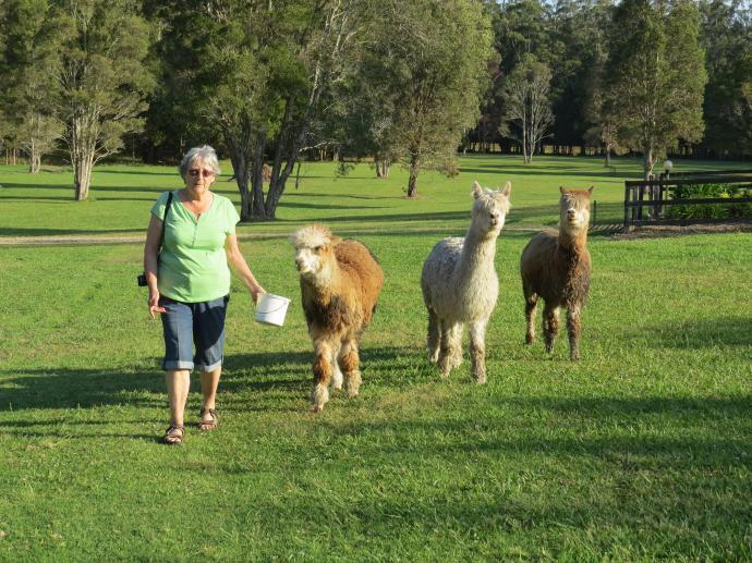 "The ""boys"" 3 very aloof and haughty alpacas"