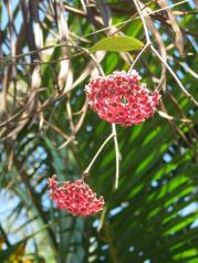 Hoya growing through the frangipani