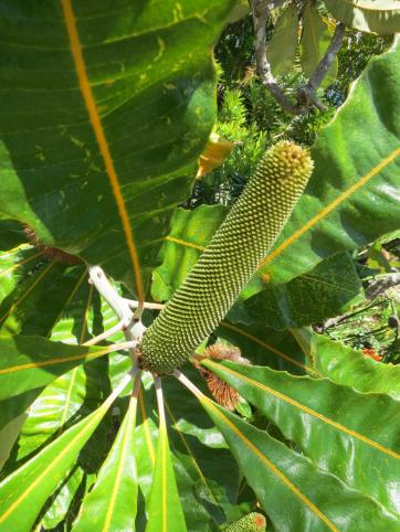 New Banksia