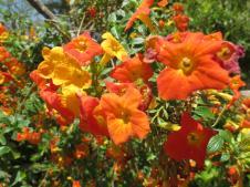 Browalia flowers