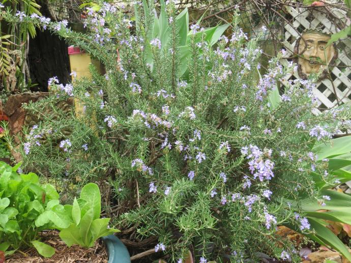 Rosemary in full flower