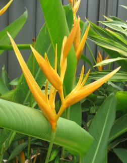 Another type of heliconia