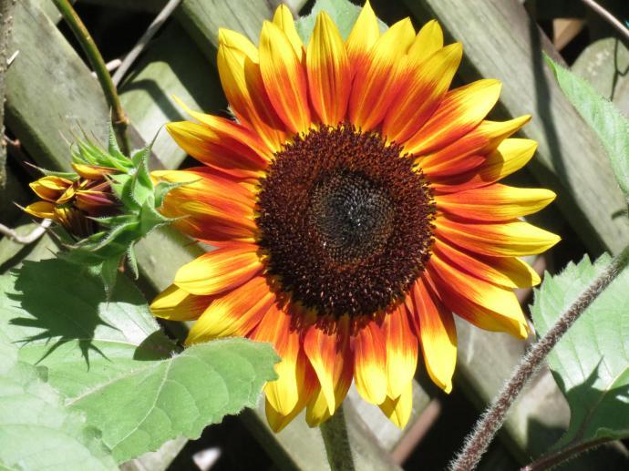 sunflowers and rain pc 003_4000x3000