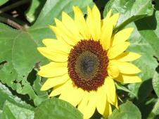 sunflowers and rain pc 004_4000x3000