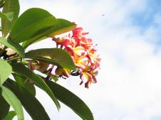 Last of the Frangipani