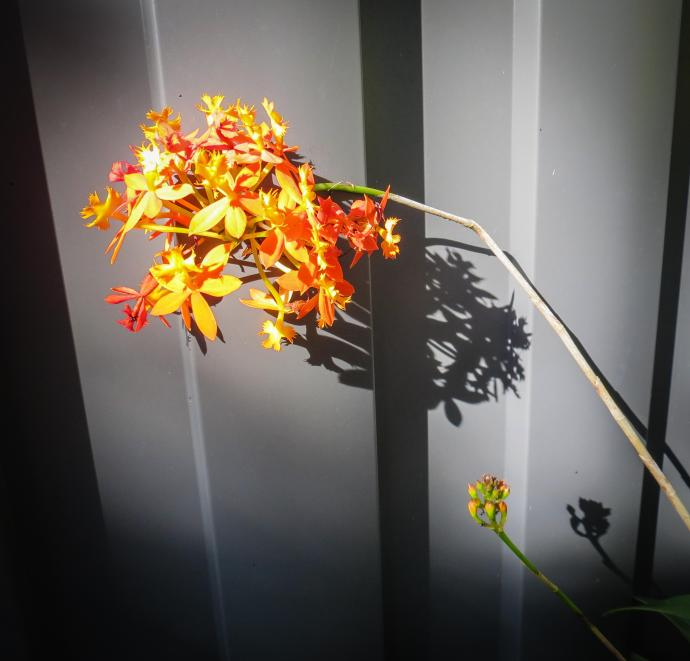 crucifixion orchid shadows_2956x2836