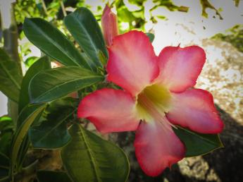 desert rose_4000x3000