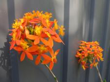 Crucifixion Orchid
