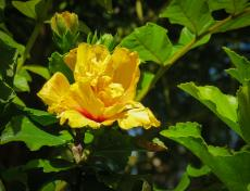 yellow hibiscus_3625x2778