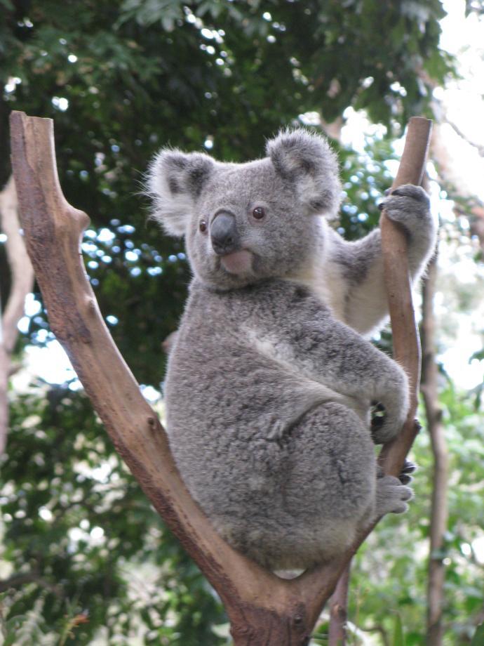 koala_2448x3264