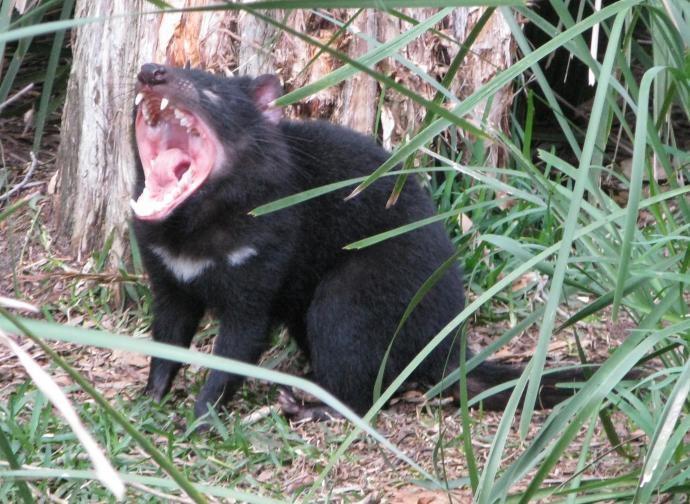 tasmanian devil_2149x1570