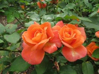 sunrise dogs roses pc 024