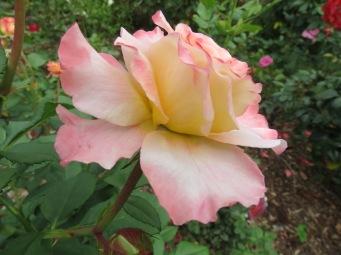 sunrise dogs roses pc 026