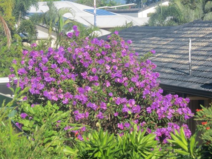 tibouchina caterpillars garden march 2016 005