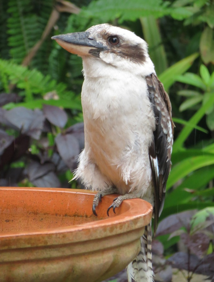 kookaburra pc 003