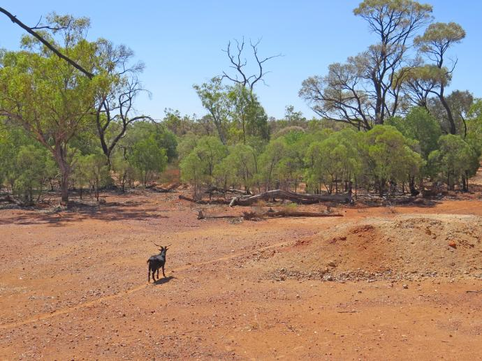 Feral goat on track to water hole.