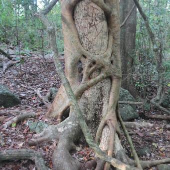 Strangler vine taking a death grip