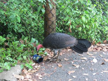 Meeting the native bush turkey
